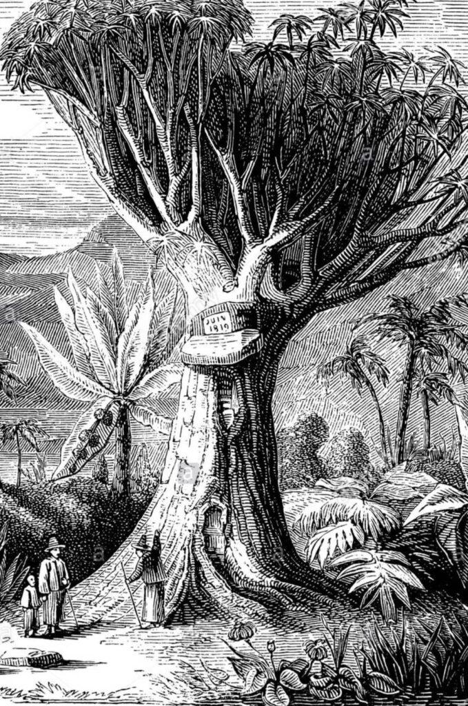 El gran Drago de La Orotava, al cual visitó Hymboldt. Gregorios wanderfamily Tenerife