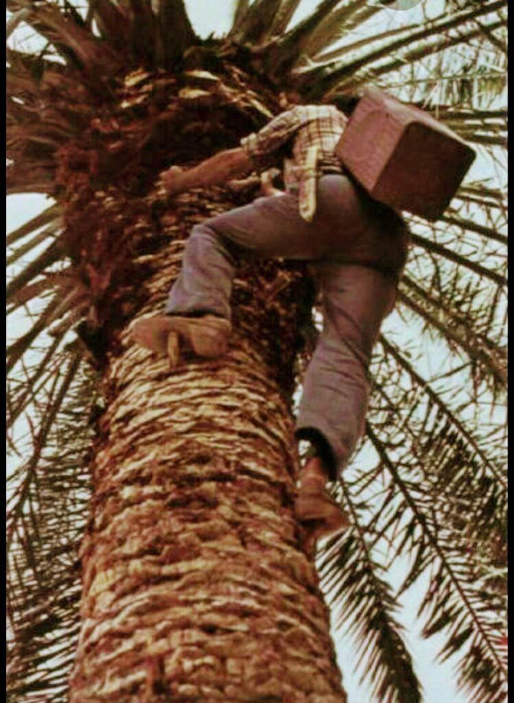 Subiendo la palmera, para obtener el guarapo. Gregorios wanderfamily.